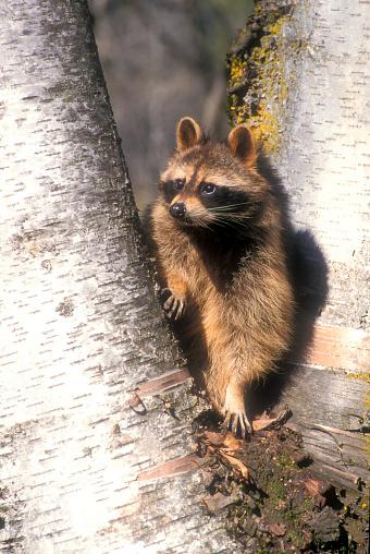 Raccoon「Raccoon (Procyon lotor) perching on aspen tree, USA」:スマホ壁紙(12)