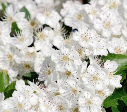Hawthorn「blooming hawthorn」:スマホ壁紙(4)