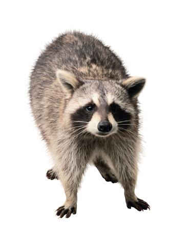 アライグマ「Raccoon」:スマホ壁紙(13)