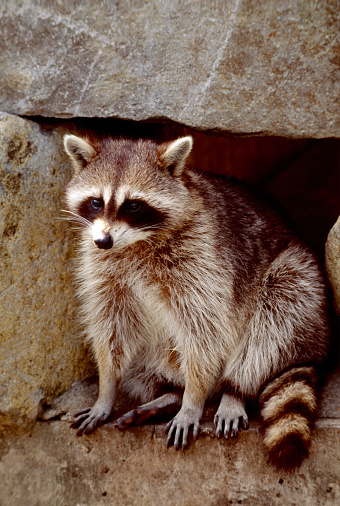 アライグマ「Raccoon」:スマホ壁紙(3)