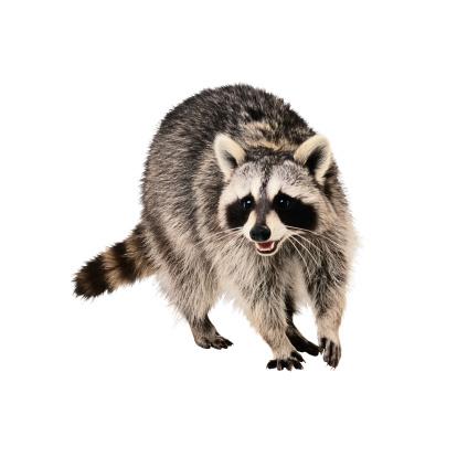 アライグマ「Raccoon」:スマホ壁紙(2)