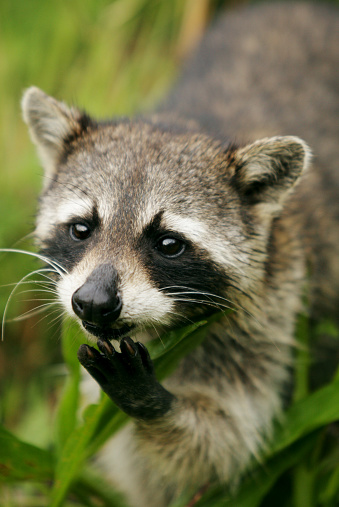 Raccoon「Raccoon」:スマホ壁紙(7)