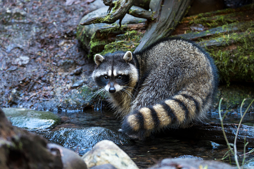 Raccoon「Raccoon」:スマホ壁紙(14)