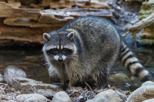 Raccoon「Raccoon」:スマホ壁紙(19)