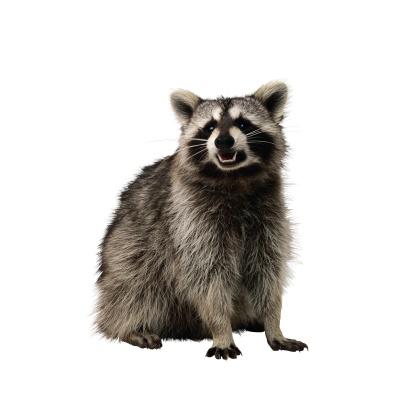 アライグマ「Raccoon」:スマホ壁紙(8)
