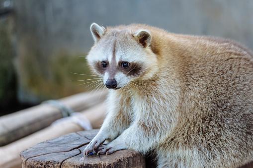Raccoon「Raccoon」:スマホ壁紙(9)