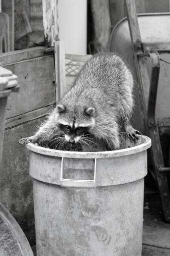 Raccoon「Raccoon」:スマホ壁紙(11)
