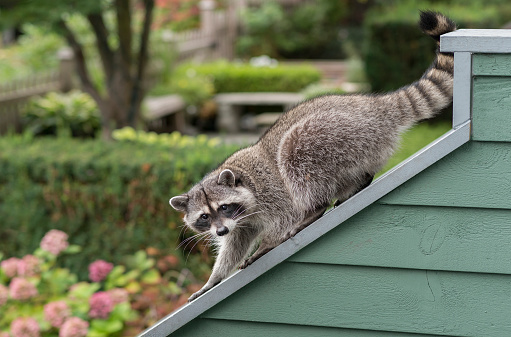 アライグマ「Raccoon」:スマホ壁紙(12)