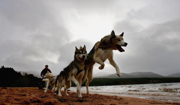 Vertebrate「Husky Club Sled Dog Rally In Aviemore - Previews」:写真・画像(16)[壁紙.com]