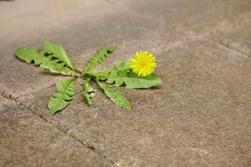 Uncultivated「Miserable dandelion in the middle of a pavement.」:スマホ壁紙(14)