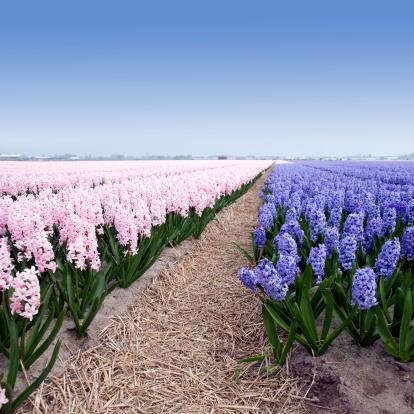 キューケンホフ公園「Hyacinths」:スマホ壁紙(0)