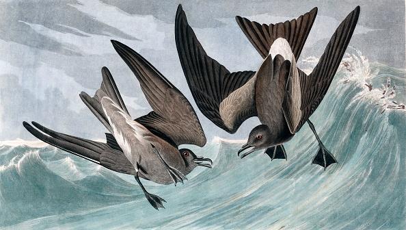 Aquatic Organism「Fork Tailed Petrel」:写真・画像(8)[壁紙.com]