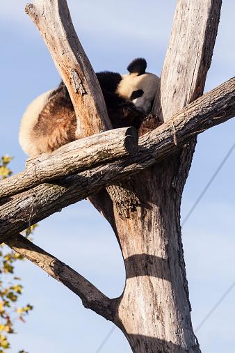 パンダ「A panda」:スマホ壁紙(5)