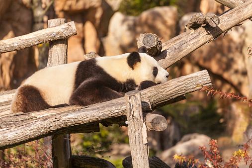 パンダ「A panda」:スマホ壁紙(6)