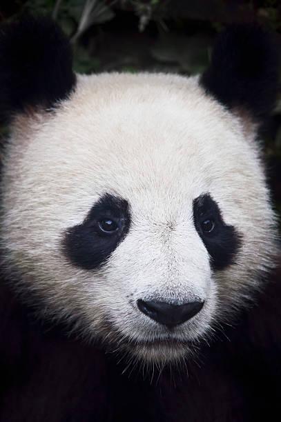 Panda (Ailuropoda Melanoleuca):スマホ壁紙(壁紙.com)