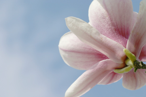 Magnolia「Magnolia Against Sky」:スマホ壁紙(9)