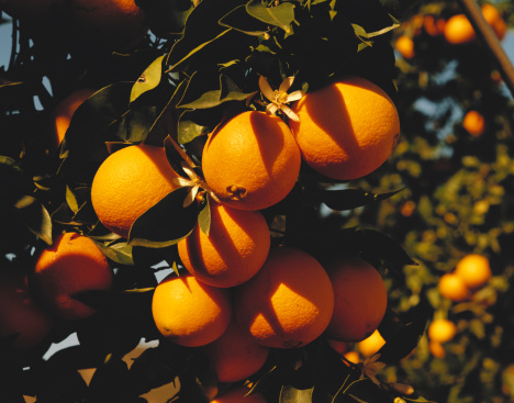 1980「Bunch of oranges on tree, close-up」:スマホ壁紙(14)
