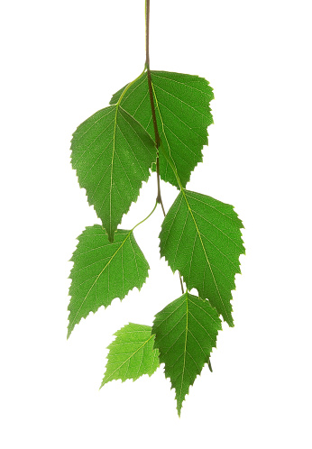 Birch Tree「Bunch of organic leaves on a white background」:スマホ壁紙(19)