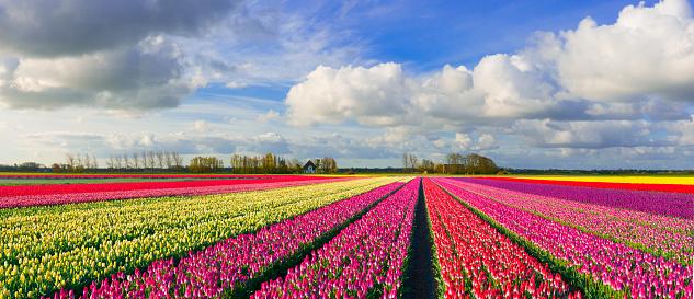 Dutch Culture「Colorful Dutch Tulip Fields」:スマホ壁紙(15)