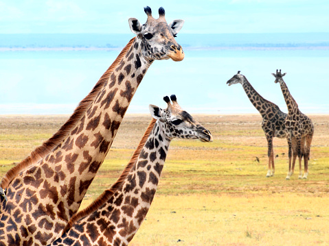 Eco Tourism「Giraffe's family near lake」:スマホ壁紙(18)