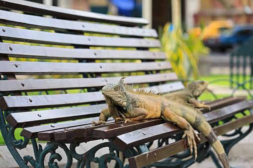 Green Iguana「Ecuador, Guayaquil, two Green Iguanas on a park bench」:スマホ壁紙(9)