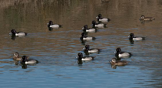 Birds「Flock of ring-necked ducks swimming on pond.」:スマホ壁紙(8)
