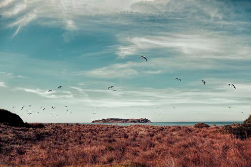 Flock Of Birds「Birds flying over tussocks by Victor Harbor, South Australia, Australia」:スマホ壁紙(13)