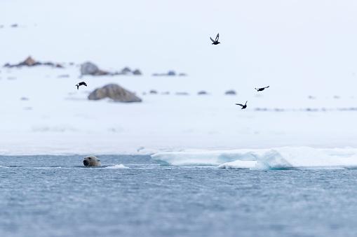 Svalbard and Jan Mayen「Birds flying above polar bear (Ursus maritimus) swimming in Arctic Ocean, Spitsbergen, Svalbard and Jan Mayen, Norway」:スマホ壁紙(19)