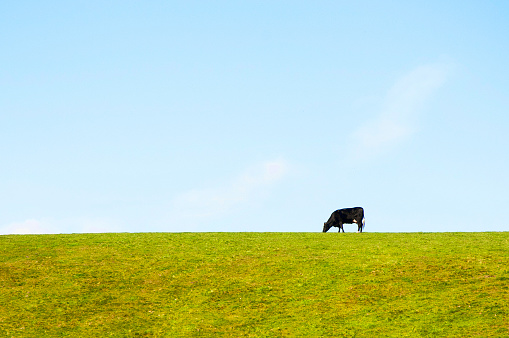 Isle of Man「Dairy Cow standing alone in a meadow, silhouetted agint the sky-line」:スマホ壁紙(15)