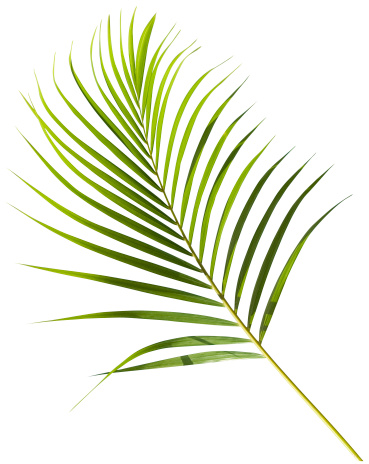 Frond「Tropical green palm leaf isolated on white with clipping path」:スマホ壁紙(9)