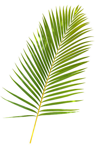 Tropical green palm leaf isolated on white with clipping path:スマホ壁紙(壁紙.com)