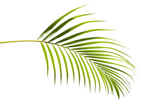 Frond「Tropical green palm leaf isolated on white with clipping path」:スマホ壁紙(7)