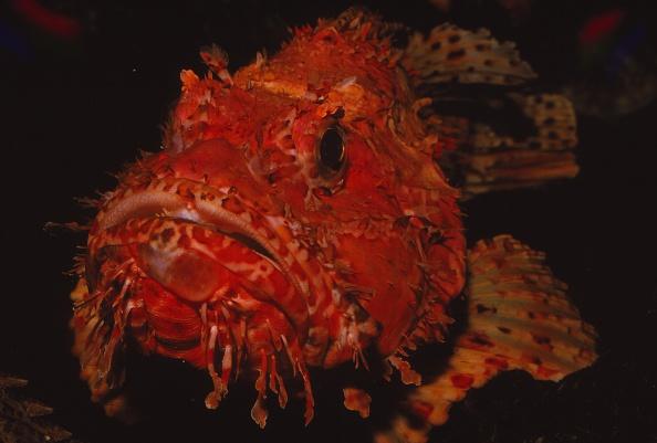 Fish「Scorpion Fish」:写真・画像(19)[壁紙.com]