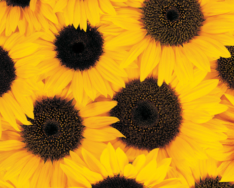 ひまわり「Overhead View of a Crowded Bunch of Yellow Sunflowers」:スマホ壁紙(9)