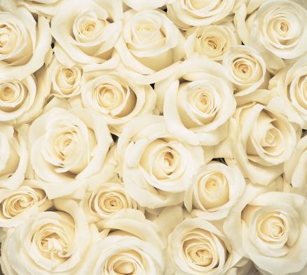 薔薇「Overhead View of a Large Group of White Roses Crowded Together」:スマホ壁紙(5)