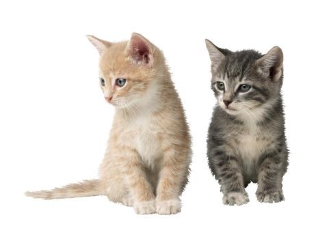 ショートヘア種の猫「Two Kittens」:スマホ壁紙(5)