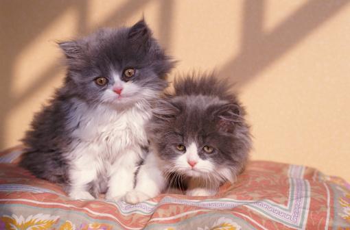 子猫「Two kittens on coloured pillow」:スマホ壁紙(11)