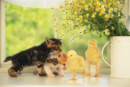 Kitten「Two Kittens and Two Chicks Playing, Front View, Differential Focus」:スマホ壁紙(7)