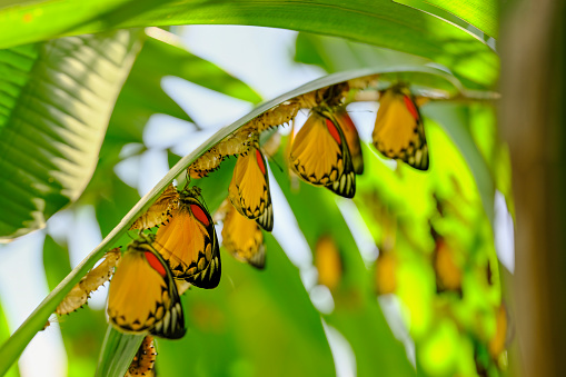 Frond「Large group of beautiful yellow, white and orange abstract colored Painted Jezebel butterflies emerging from their chrysalis form, under palm fronds, ready to begin their life as butterflies.」:スマホ壁紙(15)