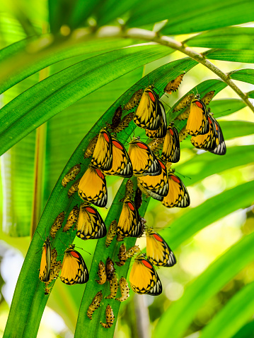 Frond「Large group of beautiful yellow, white and orange abstract colored Painted Jezebel butterflies emerging from their chrysalis form, under palm fronds, ready to begin their life as butterflies.」:スマホ壁紙(9)