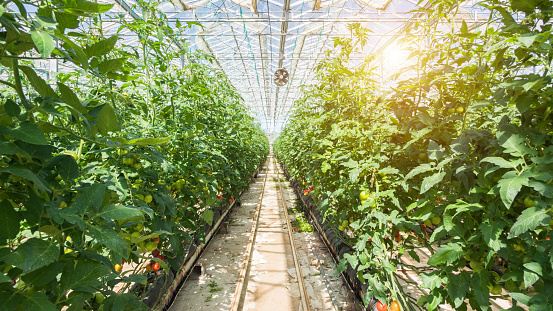 Agriculture「Large group of tomatos in greenhouse」:スマホ壁紙(19)
