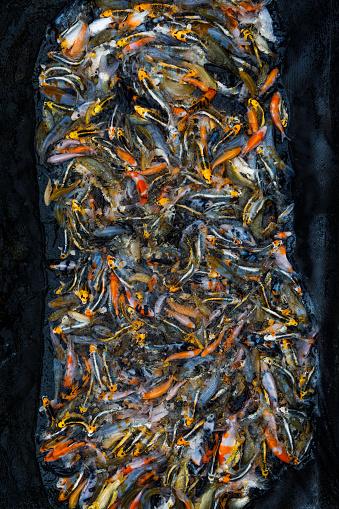 Carp「Large group of Koi Carp surrounded by netting, Oxfordshire, England, United Kingdom」:スマホ壁紙(10)