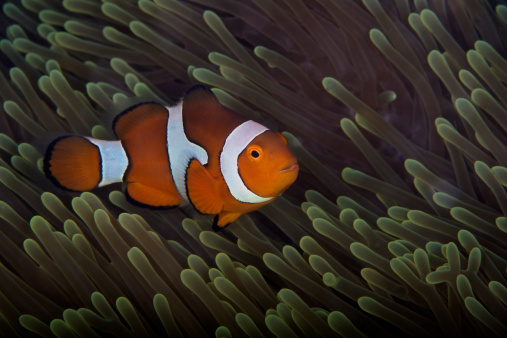 カクレクマノミ「False Ocellaris Clownfish in its host anemone, Papua New Guinea.」:スマホ壁紙(14)
