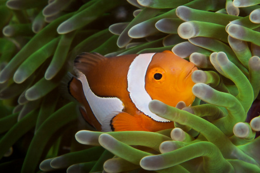 カクレクマノミ「False Ocellaris Clownfish in its host anemone, Papua New Guinea.」:スマホ壁紙(19)
