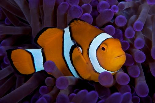 カクレクマノミ「False Ocellaris Clownfish in its host anemone, Papua New Guinea.」:スマホ壁紙(18)