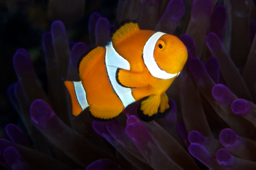 Soft Coral「False Ocellaris Clownfish in its host anemone, Papua New Guinea.」:スマホ壁紙(17)