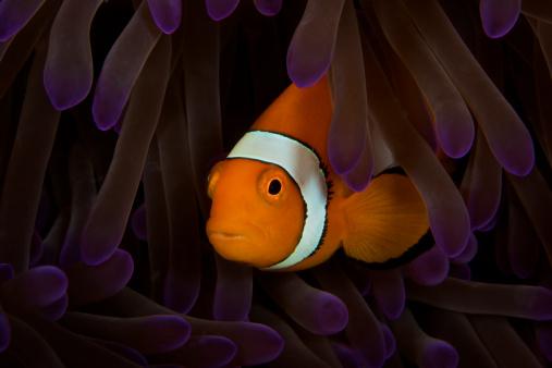 カクレクマノミ「False Ocellaris Clownfish in its host anemone, Papua New Guinea.」:スマホ壁紙(15)