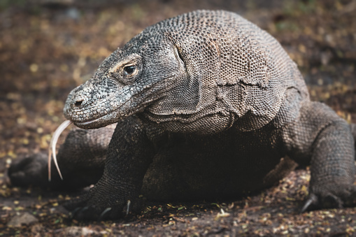 Dragon「Komodo Dragon Sticking Out Tongue Komodo National Park」:スマホ壁紙(7)