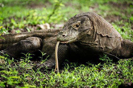 The Nature Conservancy「Komodo Dragon Wildlife Photo Komodo Island Island Indonesia」:スマホ壁紙(8)