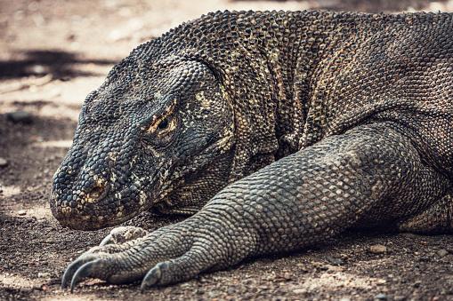 Dragon「Komodo Dragon Wildlife Portrait Komodo National Park」:スマホ壁紙(2)